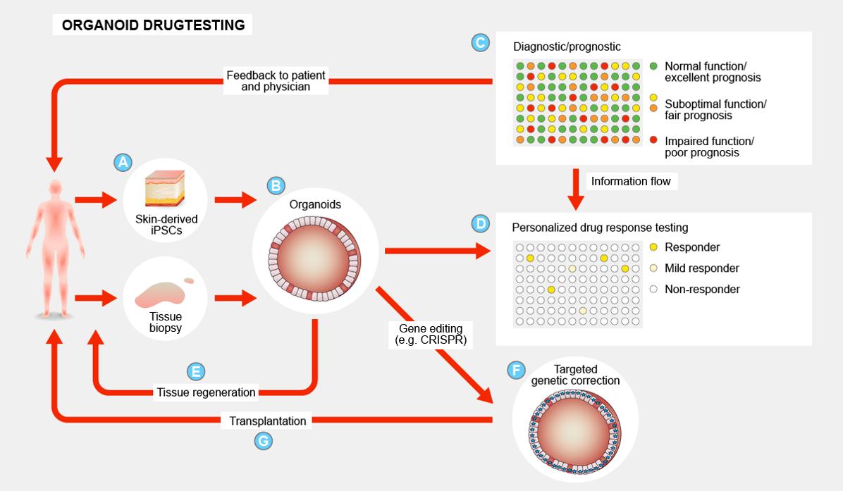 Organoid drugtesting